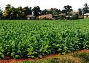 Tobacco growing in Cuba where cigars were urchased
